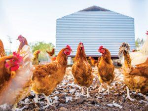 coastal-roots-farm_chickens_2017-1